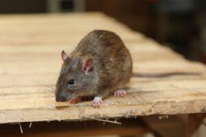 patkány